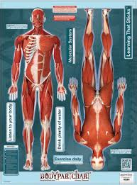 Bodypartchart Muscles Front And Rear View