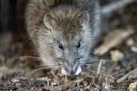 Sinds 2016 is het virus in nederland gevonden en heeft het bij enkele mensen tot ziekte ziekteverschijnselen bij mensen. Ontario Investigating Three Cases Of Seoul Virus Which Is Spread By Rats The Star