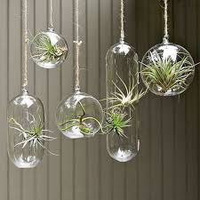 hang air plants in glass bubbles