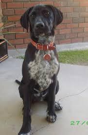 german shorthair pointer breed