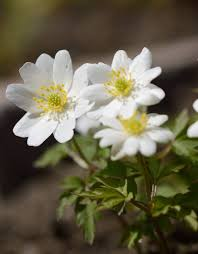 Buy Anemone nemorosa 'Hilda' (Wood anemone) - De Warande - Strongbulbs.com