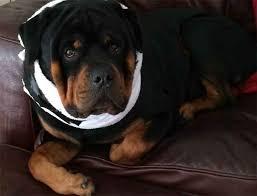 diy fy dog cone alternative dog