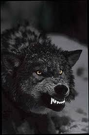 growling black wolf wallpapers wolf
