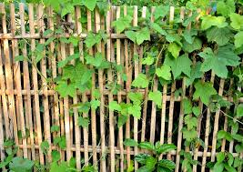 How To Plant And Create A Bamboo Fence Design Build Planners