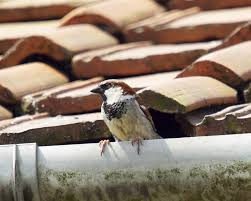 nesting birds on your home how to get