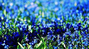 صور ورود زرقاء