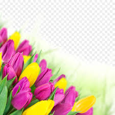 tulip flower bouquet pink wallpaper
