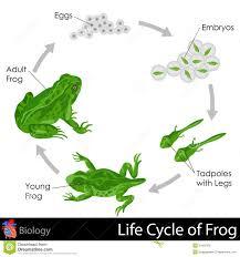 Cykl życia żaba ilustracji. Ilustracja złożonej z nadwodny - 31605976