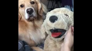 jealousy of your dog with a soft toy