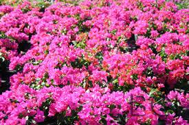 Bougainvillea 'Helen Johnson' Makes the List - BGI Premium Plant Foods
