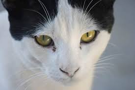 cat eye discharge how to treat