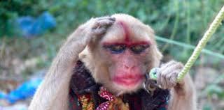 funny monkey memes monkey pickles