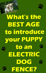 Electric Dog Fences And Puppies What Age Is Best Dig Your Dog