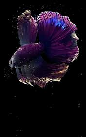 betta fish live wallpaper free free