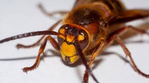 Invasive 'murder hornets' spotted in U ...