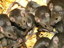 homemade mice repellent you