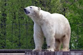 Free Picture Bear Polar Bear Animals Fur Trees Fence