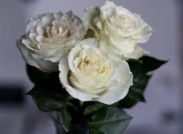 صور ورد أبيض قمة في الجمال والرومانسية والرقي روزبيديا