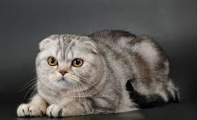 Шотландская вислоухая кошка (скоттиш фолд) - МОИ ЛЮБИМЫЕ КОТИКИ ...