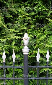 Fences Black Cast Iron Fence With Champagnecolored Finials In Front Of A Green Thuja Hedge Stock Photo Download Image Now Istock