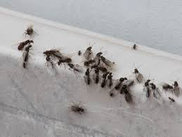 48+ Little Black Ants With Wings Images