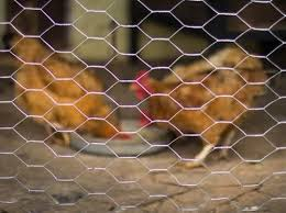 Hexagonal Chicken Wire Mesh Fence At Best Price In Anping Hebei Xin Hui Metal Products Co Ltd