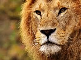 hd wallpaper lion head close up photo