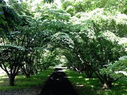 The dogwood allee is magical and just as beautiful from afar and ...