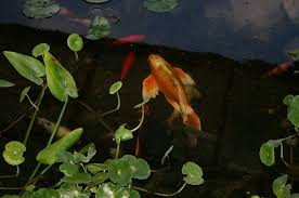 aquatic plants for your koi pond why