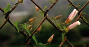 How To Plant A Living Fence Using A Fast Growing Plant To Cover Fence Fence Plants Living Fence Backyard Fences