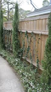 Star Jasmine Vines Italian Cypress And White Trailing Lantana Italian Cypress Trees Privacy Landscaping Backyard Garden Vines