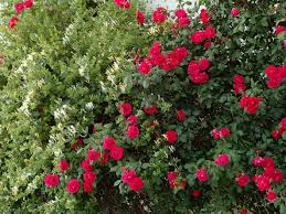 Hedge Rose Care What Are Some Good Hedge Rose Varieties