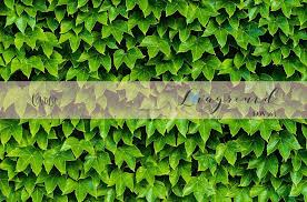 Photography backdrop Green Hedge ivy, green leaves wall background, ph –  LovaluDesign