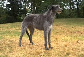 dog breeds scottish deerhound pets