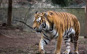 تحميل خلفيات نمر آمور النمور عريضة 2560x1600 جودة عالية Hd