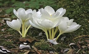 خواص گیاه سورنجان یا گل حسرت - مجله سلامتی عطارباشی