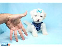 Sugar Baby Teacup Maltipoo Puppy 1 800