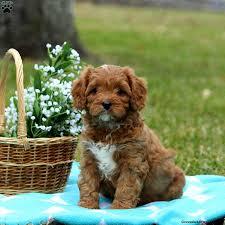 cavapoo dog breed info greenfield puppies