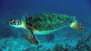 10 sea turtle hd wallpapers