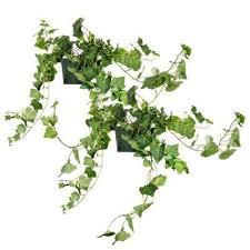 Ivy - Indoor Plants - Plants & Garden Flowers - The Home Depot