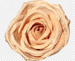garden roses beach rose cut flowers