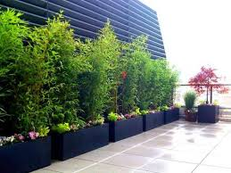 How To Grow A Bamboo Privacy Screen In Containers Bamboo Plants Online