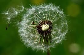Darmowy obraz: Natura, lato, makro, wiatr, mniszek lekarski, flora ...