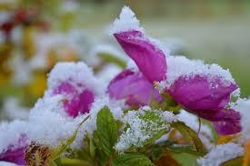صور لـ شتاء زهور ورود ثلج بتلات الورد مزاج الشتاء