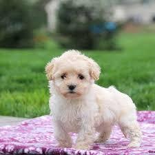 coton de tulear mix puppies