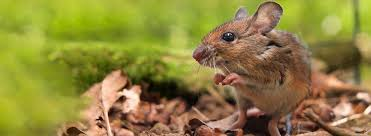 how to get rid of rodents in garden