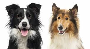 collie vs border collie which of these