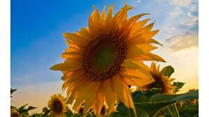 sunflowers wallpapers sunflower