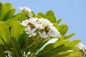 الياسمين الهندي نباتاتي