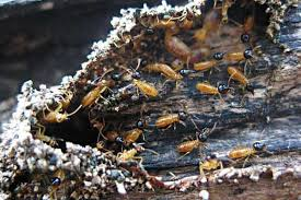 24+ Small Termites Eating Wood Images